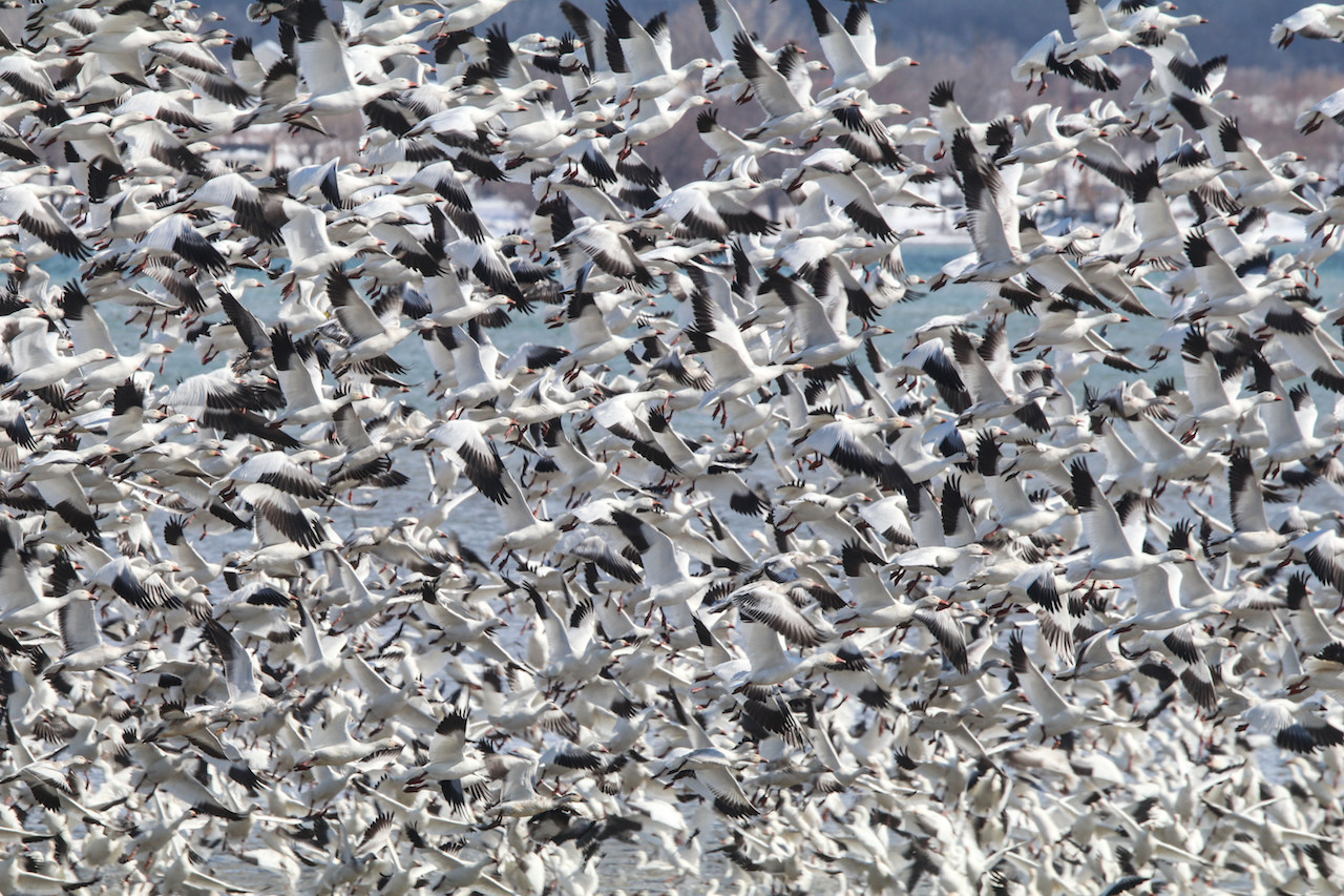 Snow geese flying in close formation (photo)